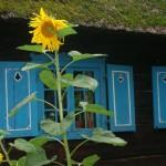 Sunflower - Olsztynek by Kamila Michalowska