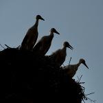 four-storks