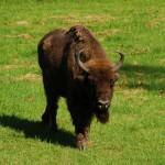 Polish-bison