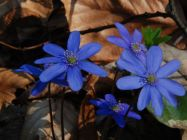 Hepatica nobilis Mill.