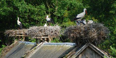 white_storks