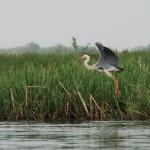 Grey heron by Anna Ostrowska