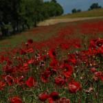 Meadow - Poland