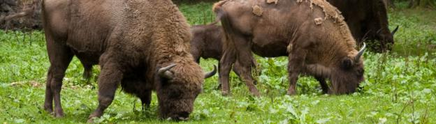 European bisons in Poland