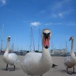 Swans  Poland